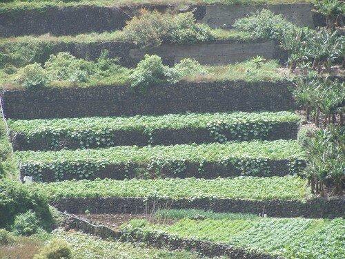 La Gomera-cultures en terrasse zoomées
