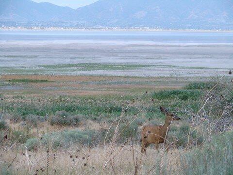 Antilope Island -biche