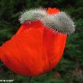 Papaver Orientalis Rouge