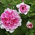 Rose froufrous_13 11 06_4349