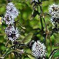 Menthe insulaire • Mentha suaveolens subsp insularis