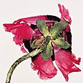 Irving penn, single oriental poppy, new york, 1968