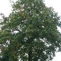 Le chêne p