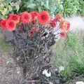 2008 10 05 Un dahlias rouge gelée