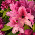 Rhododendrons rouges
