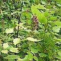 Epiaire des bois (Stachys sylvatica), ormaie rudérale.