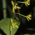 Encyclia chloroleuca (?) var. (?)