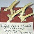 Dents de requins odontaspis striata