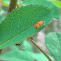 Mouche du vinaigre • Drosophila melanogaster • Drosophilidae