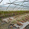 culture de semences de laitue