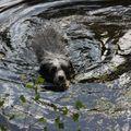 2009 07 19 Dolie qui nage dans l'eau (2)