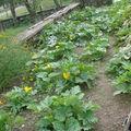 2008 09 03 Mes derniers plants de courgettes et potirons