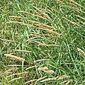 Alpiste roseau - Phalaris arundinacea