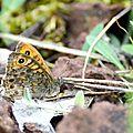 Megère - Lasiommata megera