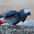 Perroquet du gabon femelle