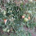 2008 09 06 Mes tomates coeur de boeuf