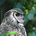 Grand duc de Virginie * Great horned owl
