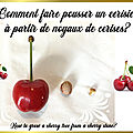 Comment faire pousser un cerisier à partir de noyaux de cerises?🍒 How to grow a cherry tree?