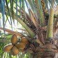 La Gomera-cocotier zoomé