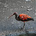 <b>Ibis</b> rouge
