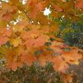 2008 10 06 Feuille d'érable bien colorées