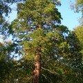 Séquoias d