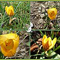 crocus jaune strie 2014 3