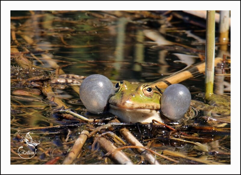 grenouille2