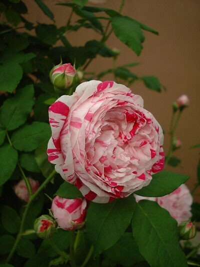 variegata