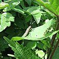 L'Agapanthie à pilosité verdâtre (Agapanthia villosoviridescens)