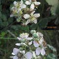 mûres fleurs blanches4
