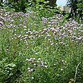 Cirses des champs (Cirsium arvense), prairie mésophile.