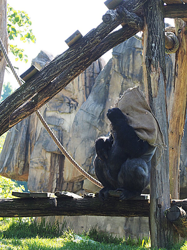 zoo-beauval-animaux-gorilles-13