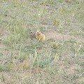 23°) Marmotte