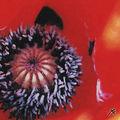 04A. Coeur de poppy