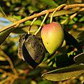 Les olives sont mûres à malras