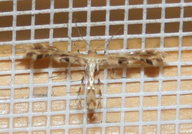 Pterophoridae sp. 02