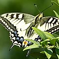 Le <b>Machaon</b> ou Grand Porte-Queue
