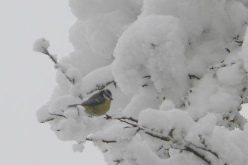 2008 12 18 Un mésange bleu sur des branches d'arbres enneigés