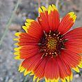 bicolore ... une fleur