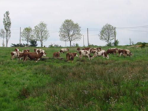 2008 05 21 Les vaches dans le prés pour la première fois de l'année