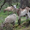 2009 04 21 Chèvres et chevreaux à Montgiraud (15)