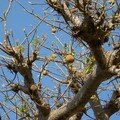 Fruit du baobab(pain de singe)
