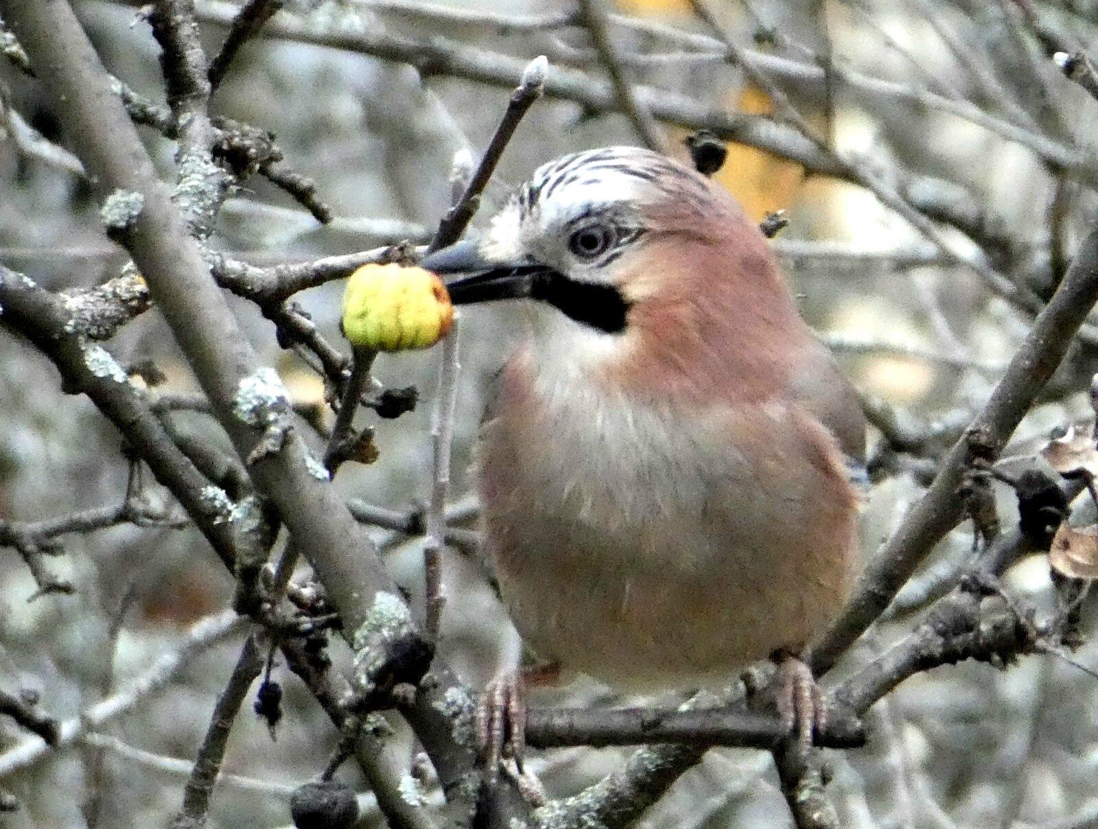 geai à la pomme