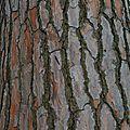 Pin parasol • Pinus pinea • Famille Pinaceae