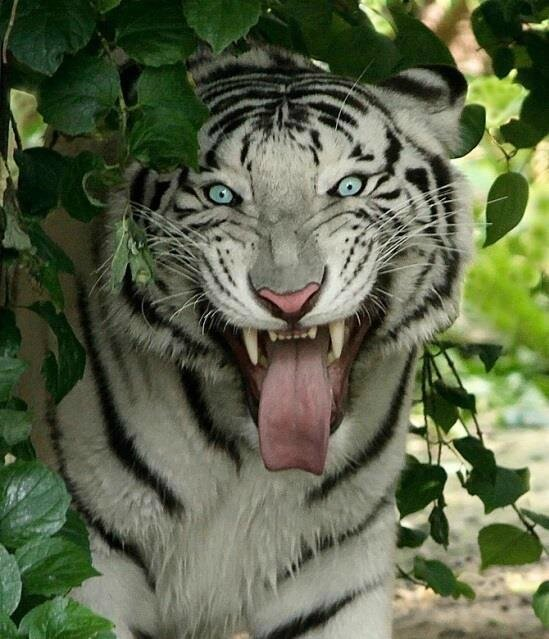 tigre dents