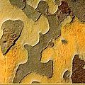 Ecorce du <b>Platane</b> fissurée en écailles, rhytidomes