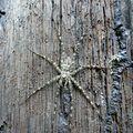 Araignée bois