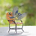 La mésange bleue et ses jolies ailes déployées ...