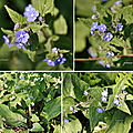 Buglosse toujours verte (Boraginacées)
